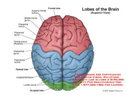 brain frontal lobes