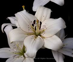 asiatic hybrid lily