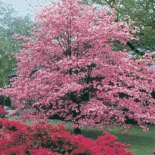 pink dogwood pictures