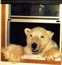 bear window