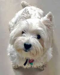 highland west terrier