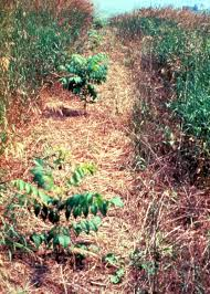 black walnut seedlings