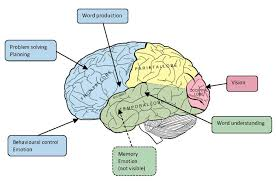 brain function diagram