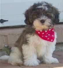 shitzu bichon puppies