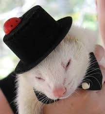 ferret hats