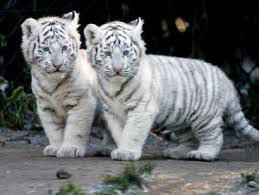 baby tigers cubs