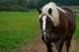 konie zimno krwiste