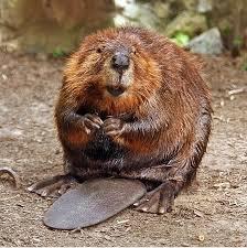 beaver animals