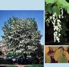 american yellowwood tree