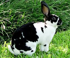 mini rex rabbit pictures