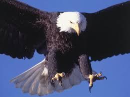 flying bald eagle pictures
