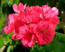 annual geranium