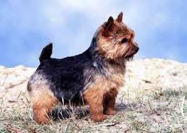 norwich terrier dogs