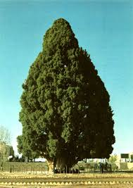 green giant tree