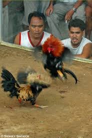cockfight in the philippines