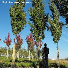 columnar maple tree