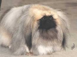 pekingese dog breeders