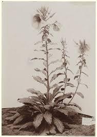 oenothera gigas