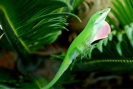 green anole lizards