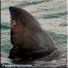 dorsal fin shark