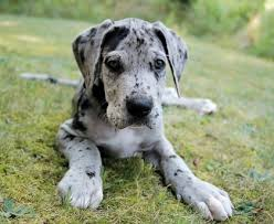harlequin great dane breeder