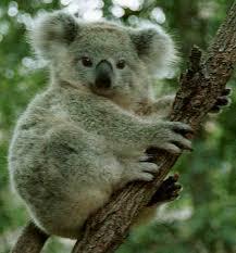 australian animals koalas