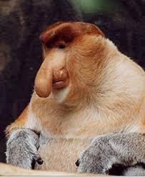 proboscis monkey photo
