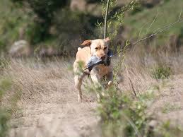 hunting dog wallpaper