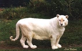 pure white tigers