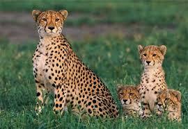 cheetah photos