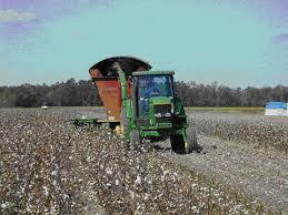 cotton stalks