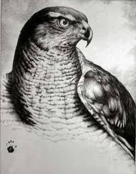 drawing of a hawk