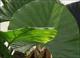 large tropical plants