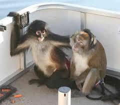 monkeys breeding