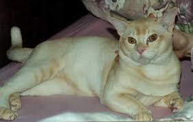 red burmese cat