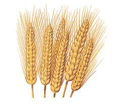 picture of wheat plant
