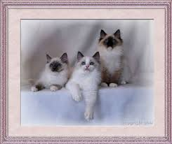 blue ragdoll kittens
