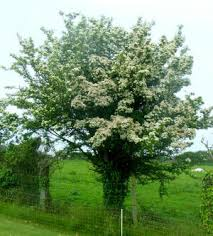 hawthorn berry tree