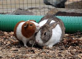 rabbit guinea pigs