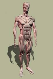 human muscle picture