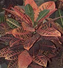 crotons plants