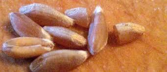 emmer grain