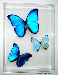 butterfly mounted