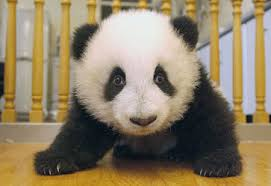 pictures of baby panda bears
