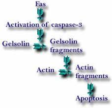 caspase 3 apoptosis
