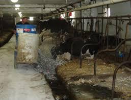 cows bedding