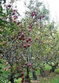 dwarf apple