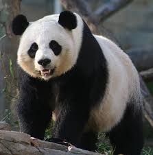 panda giant
