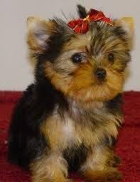 cute pictures of yorkies