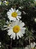 chrysanthemum hosmariense